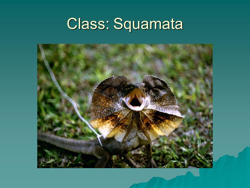 Class: Squamata