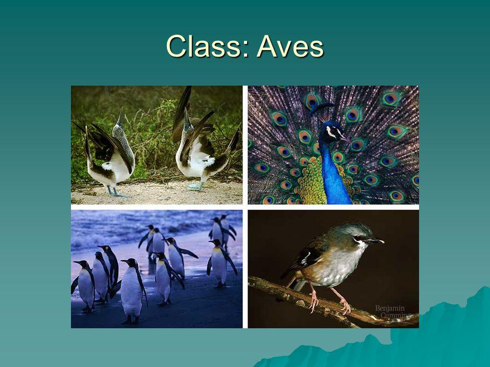 Class: Aves