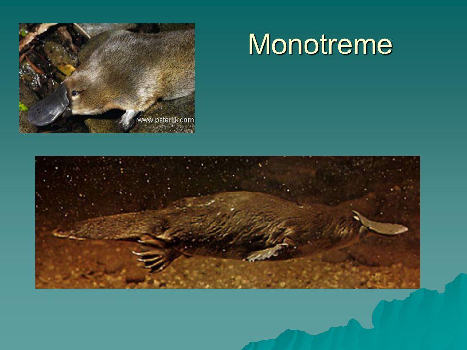Monotreme