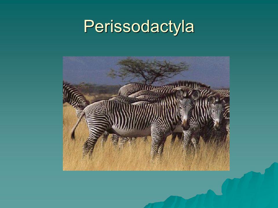 Perissodactyla