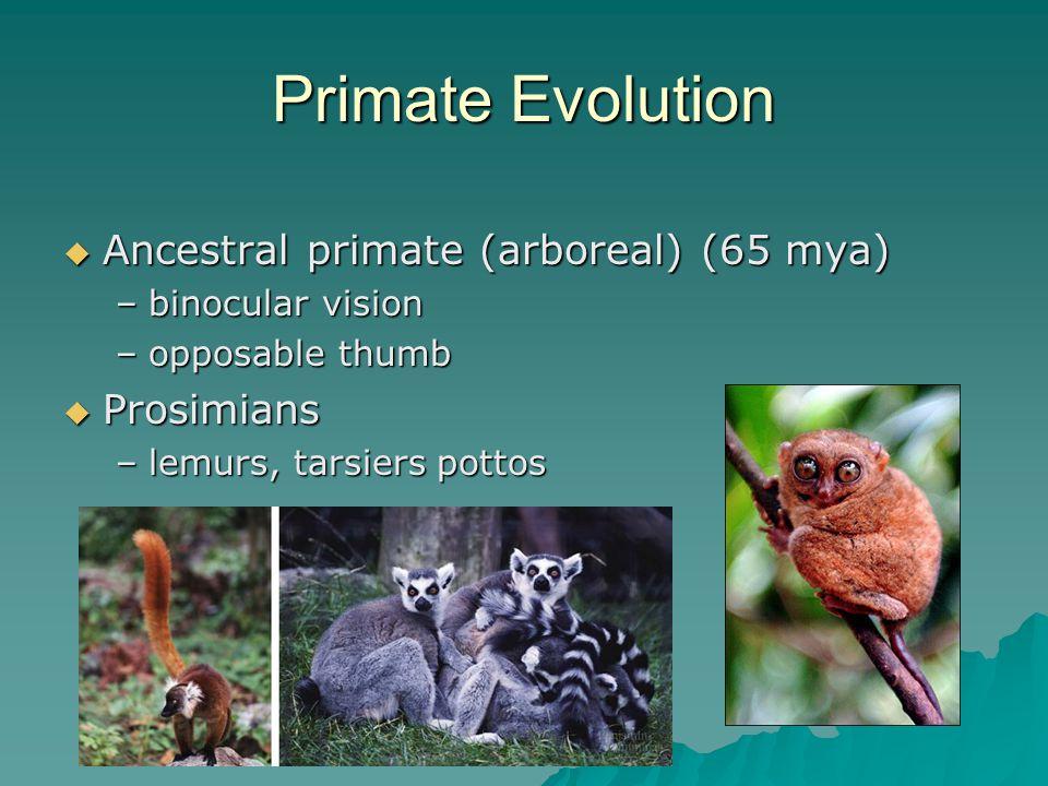 Primate Evolution  Ancestral primate (arboreal) (65 mya) –binocular vision –opposable thumb  Prosimians –lemurs, tarsiers pottos