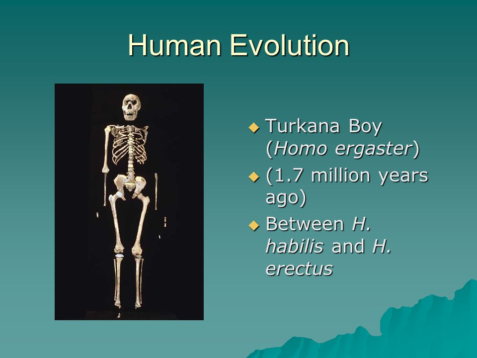 Human Evolution  Turkana Boy (Homo ergaster)  (1.7 million years ago)  Between H.