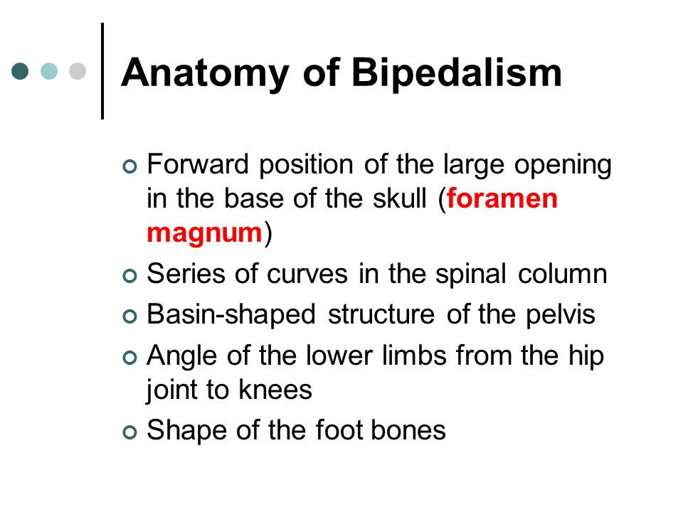 Anatomy of Bipedalism Forward position of the large opening in the base of the skull (foramen magnum) Series of curves in the spinal column Basin-shap