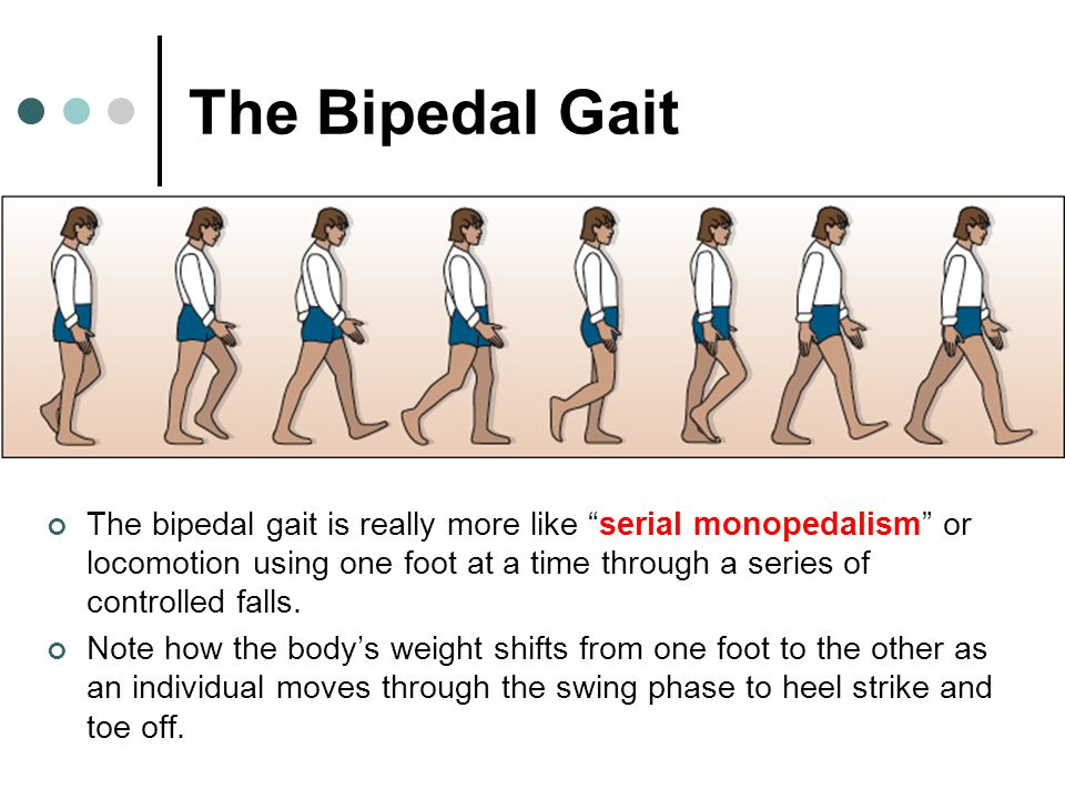 """The Bipedal Gait The bipedal gait is really more like """"serial monopedalism"""" or locomotion using one foot at a time through a series of controlled fall"""