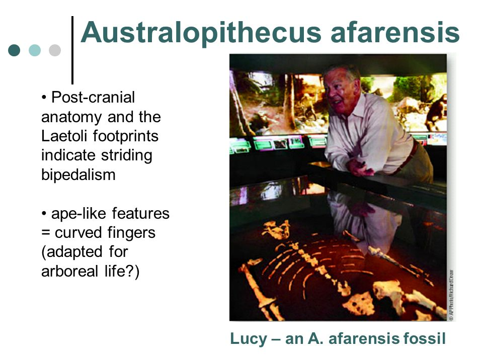 Australopithecus afarensis Post-cranial anatomy and the Laetoli footprints indicate striding bipedalism ape-like features = curved fingers (adapted fo