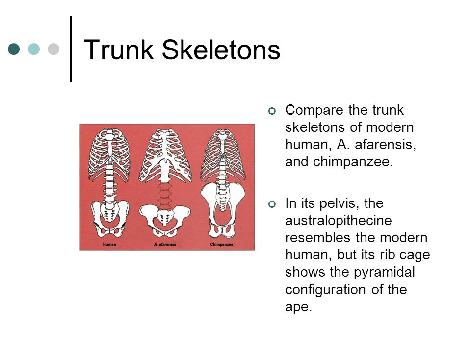 Trunk Skeletons Compare the trunk skeletons of modern human, A. afarensis, and chimpanzee. In its pelvis, the australopithecine resembles the modern h