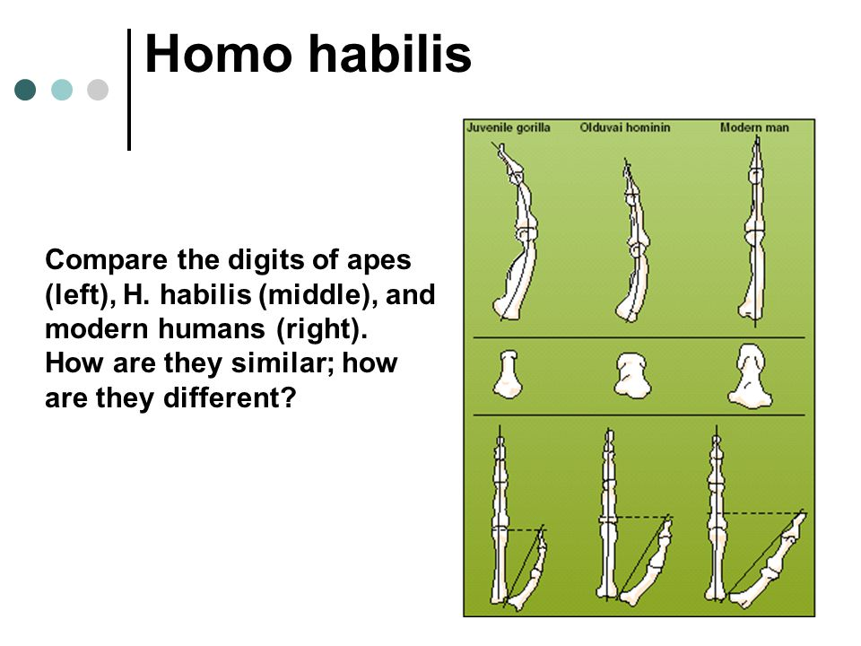 Homo habilis Compare the digits of apes (left), H. habilis (middle), and modern humans (right). How are they similar; how are they different?
