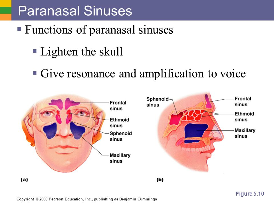 Copyright © 2006 Pearson Education, Inc., publishing as Benjamin Cummings Paranasal Sinuses  Functions of paranasal sinuses  Lighten the skull  Give resonance and amplification to voice Figure 5.10
