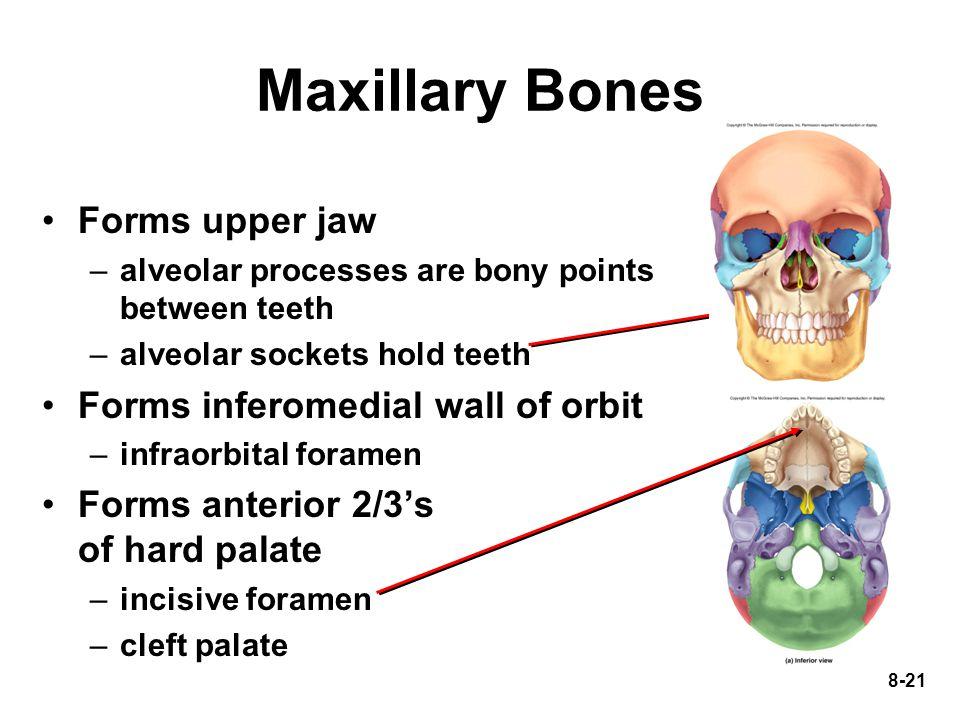 8-21 Maxillary Bones Forms upper jaw –alveolar processes are bony points between teeth –alveolar sockets hold teeth Forms inferomedial wall of orbit –
