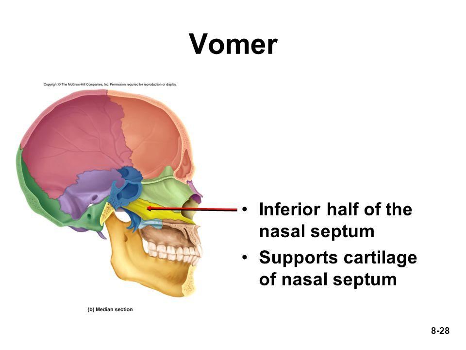 8-28 Vomer Inferior half of the nasal septum Supports cartilage of nasal septum