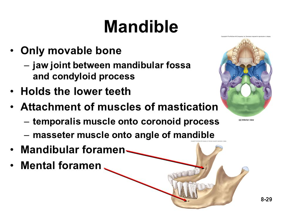 8-29 Only movable bone –jaw joint between mandibular fossa and condyloid process Holds the lower teeth Attachment of muscles of mastication –temporali