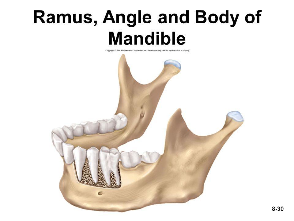 8-30 Ramus, Angle and Body of Mandible