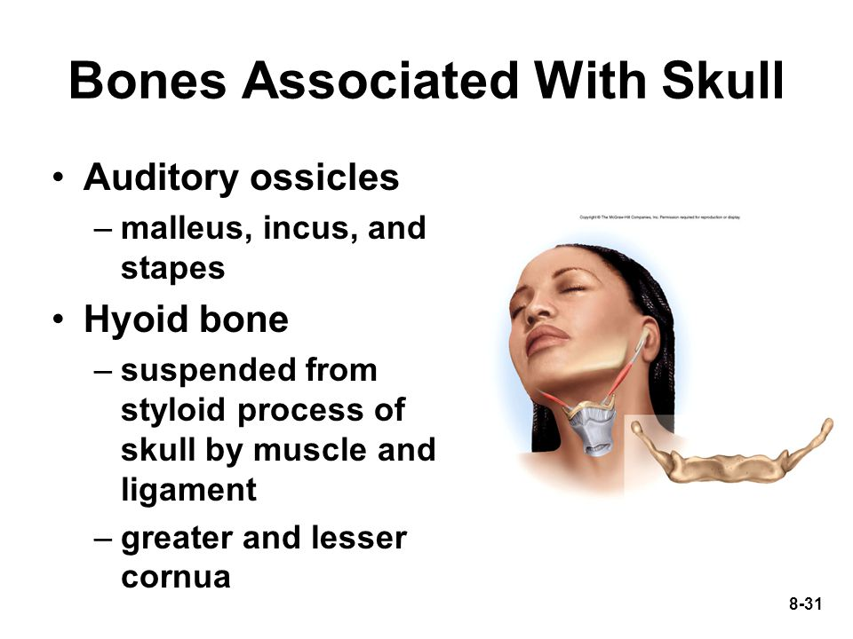 8-31 Auditory ossicles –malleus, incus, and stapes Hyoid bone –suspended from styloid process of skull by muscle and ligament –greater and lesser corn