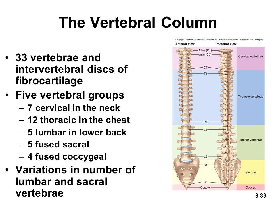 8-33 The Vertebral Column 33 vertebrae and intervertebral discs of fibrocartilage Five vertebral groups –7 cervical in the neck –12 thoracic in the ch