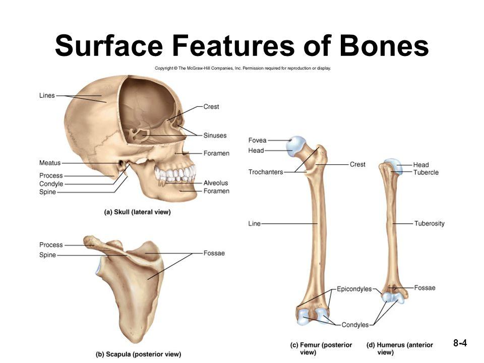 8-55 Upper Limb 30 bones per limb Brachium (arm) = humerus Antebrachium (forearm) = radius and ulna (radius on thumb side) Carpus (wrist) = 8 small bones(2 rows) Manus (hand) = 19 bones(2 groups) –5 metacarpals in palm –14 phalanges in fingers