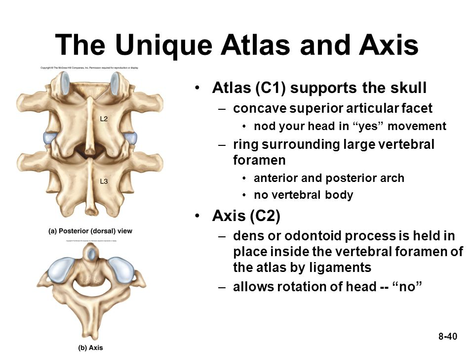 """8-40 The Unique Atlas and Axis Atlas (C1) supports the skull –concave superior articular facet nod your head in """"yes"""" movement –ring surrounding large"""