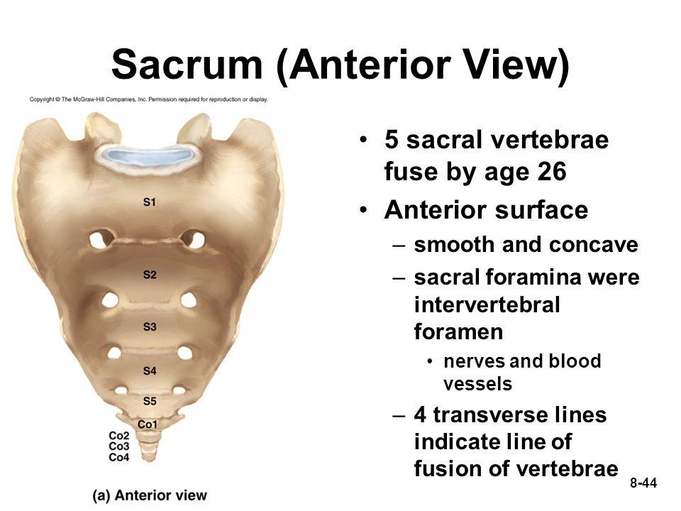 8-44 Sacrum (Anterior View) 5 sacral vertebrae fuse by age 26 Anterior surface –smooth and concave –sacral foramina were intervertebral foramen nerves