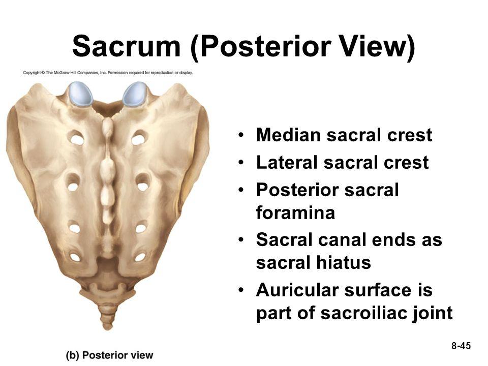 8-45 Sacrum (Posterior View) Median sacral crest Lateral sacral crest Posterior sacral foramina Sacral canal ends as sacral hiatus Auricular surface i