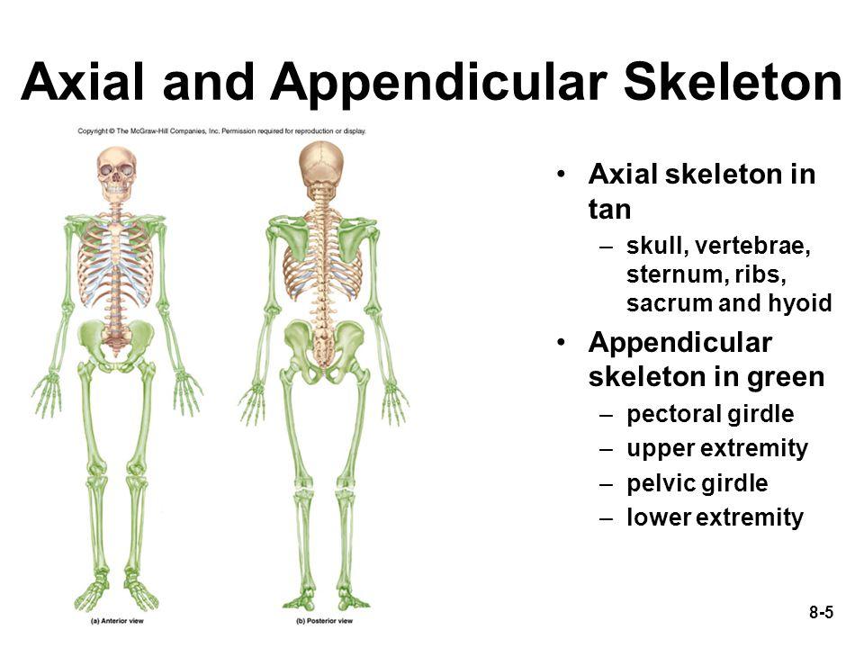8-5 Axial and Appendicular Skeleton Axial skeleton in tan –skull, vertebrae, sternum, ribs, sacrum and hyoid Appendicular skeleton in green –pectoral