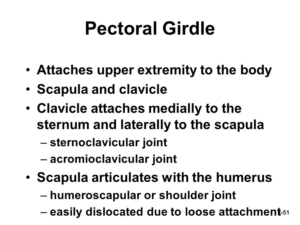 8-51 Pectoral Girdle Attaches upper extremity to the body Scapula and clavicle Clavicle attaches medially to the sternum and laterally to the scapula