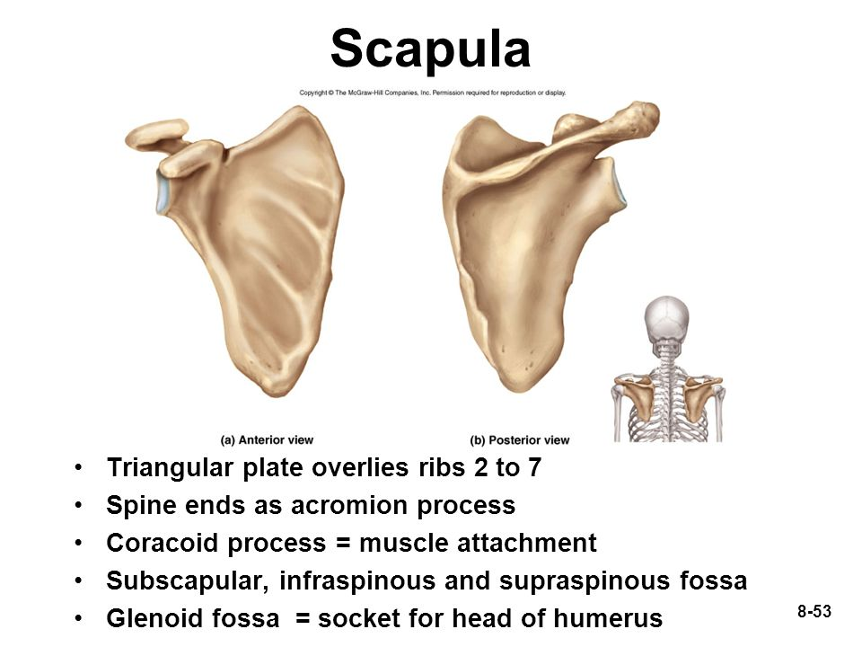8-53 Scapula Triangular plate overlies ribs 2 to 7 Spine ends as acromion process Coracoid process = muscle attachment Subscapular, infraspinous and s