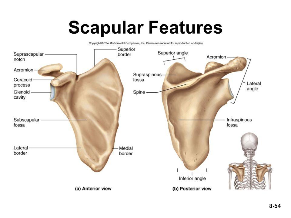 8-54 Scapular Features