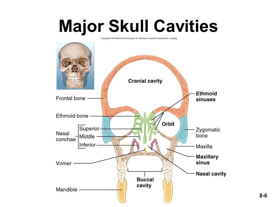 8-37 General Structure of Vertebra Body Vertebral foramen form vertebral canal Neural arch –2 lamina –2 pedicles Processes –spinous, transverse and articular