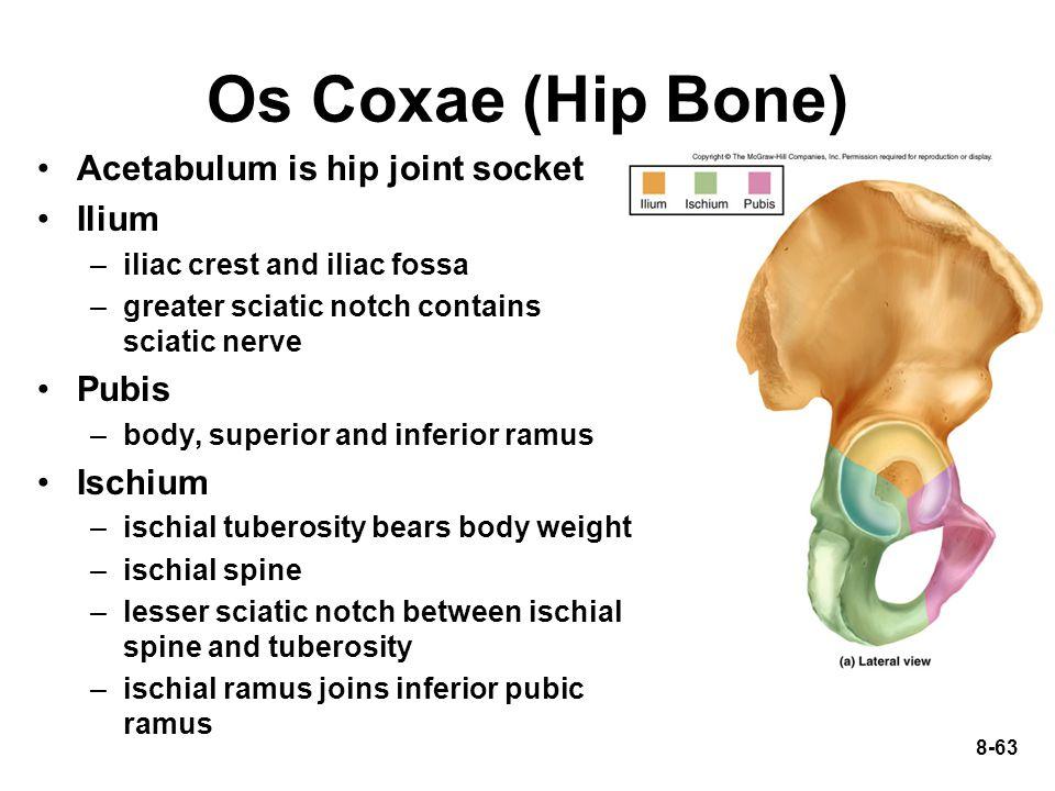 8-63 Os Coxae (Hip Bone) Acetabulum is hip joint socket Ilium –iliac crest and iliac fossa –greater sciatic notch contains sciatic nerve Pubis –body,