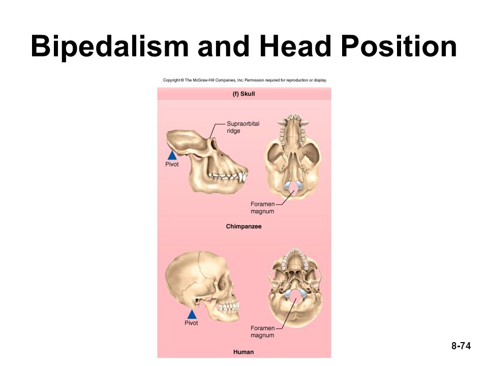 8-74 Bipedalism and Head Position