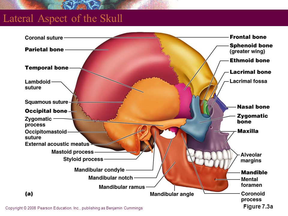 Copyright © 2008 Pearson Education, Inc., publishing as Benjamin Cummings Lateral Aspect of the Skull Figure 7.3a