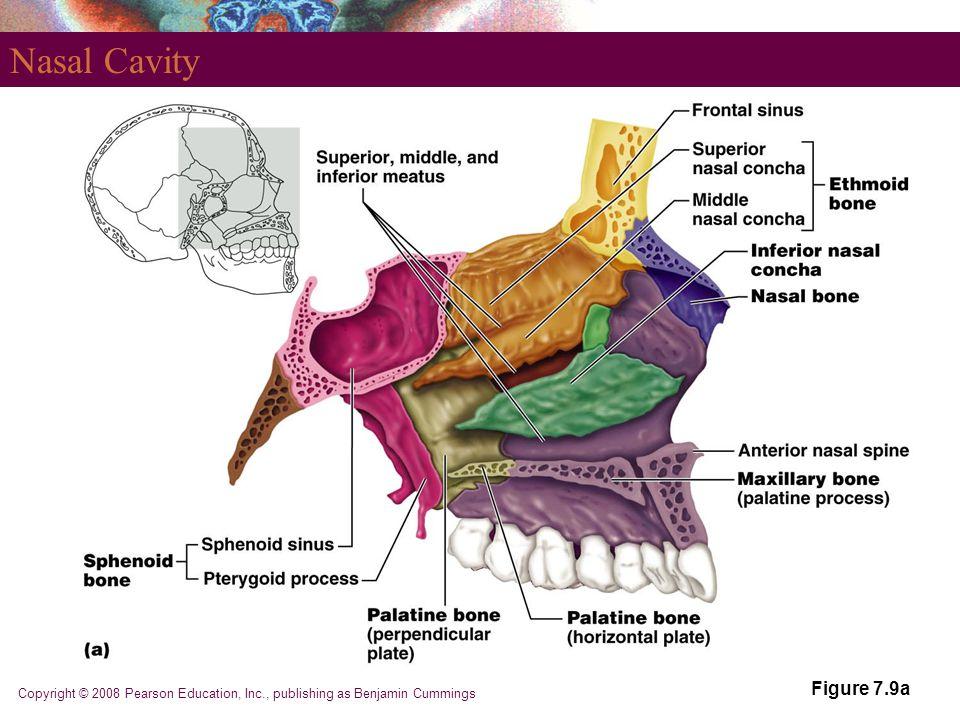 Copyright © 2008 Pearson Education, Inc., publishing as Benjamin Cummings Nasal Cavity Figure 7.9a
