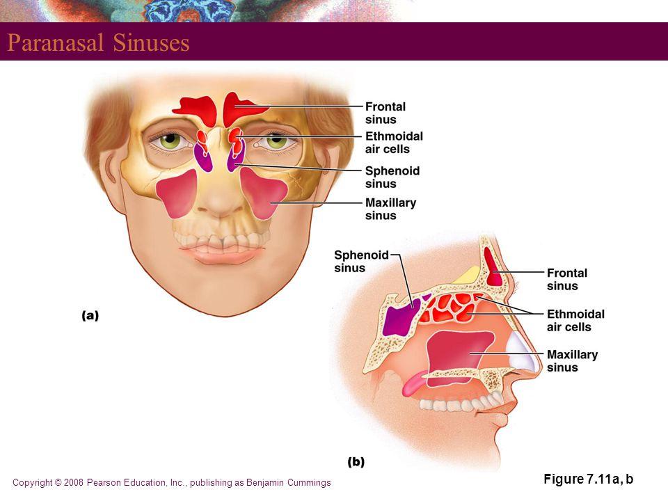 Copyright © 2008 Pearson Education, Inc., publishing as Benjamin Cummings Paranasal Sinuses Figure 7.11a, b