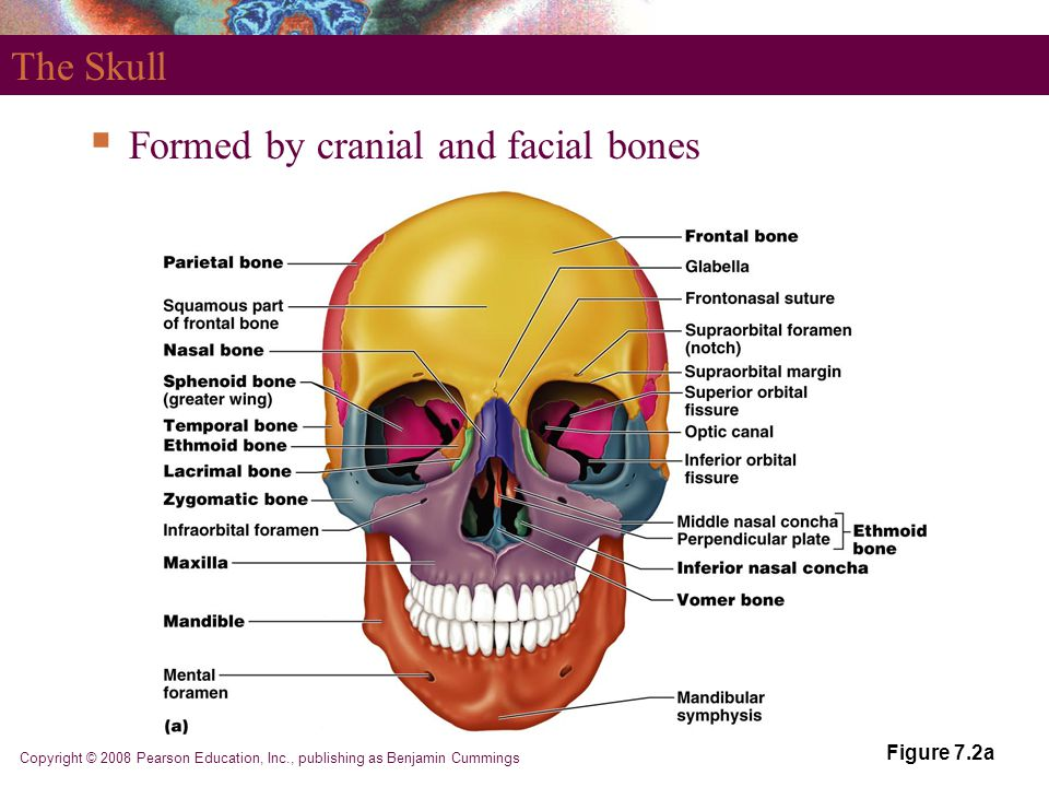 Copyright © 2008 Pearson Education, Inc., publishing as Benjamin Cummings Figure 7.2a The Skull  Formed by cranial and facial bones