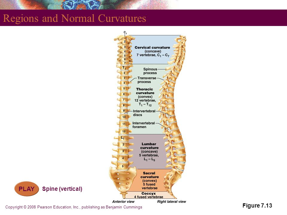 Copyright © 2008 Pearson Education, Inc., publishing as Benjamin Cummings Regions and Normal Curvatures Figure 7.13 PLAY Spine (vertical)
