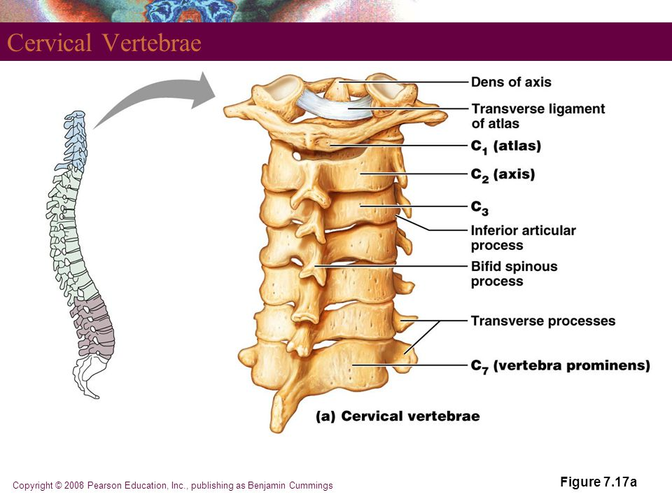Copyright © 2008 Pearson Education, Inc., publishing as Benjamin Cummings Cervical Vertebrae Figure 7.17a