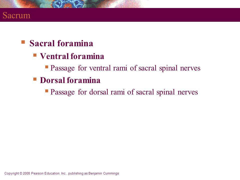 Copyright © 2008 Pearson Education, Inc., publishing as Benjamin Cummings Sacrum  Sacral foramina  Ventral foramina  Passage for ventral rami of sa