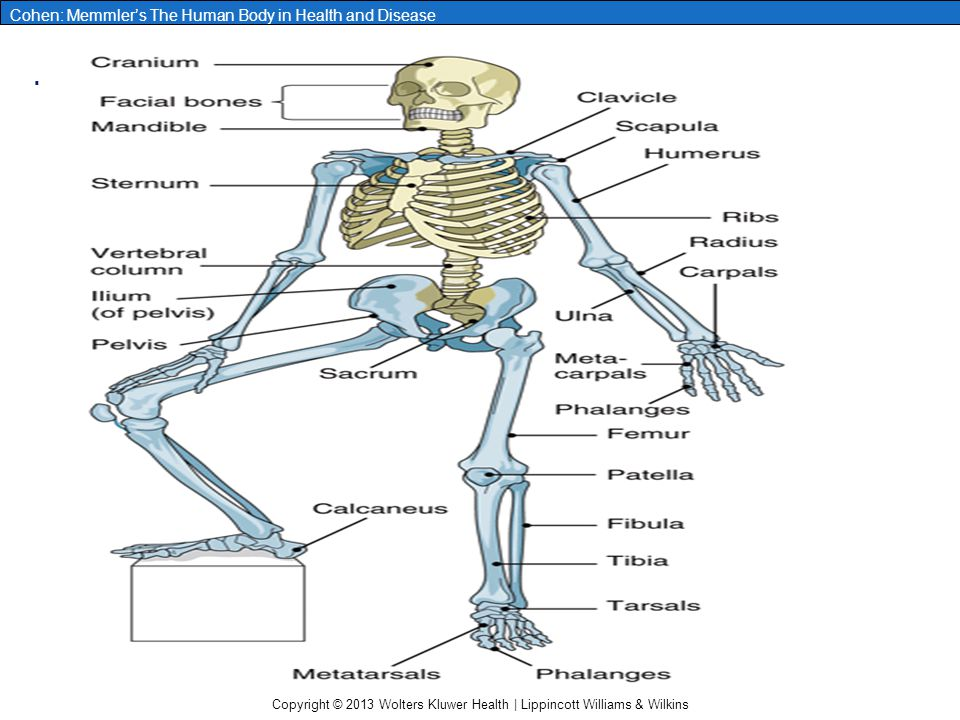 Copyright © 2013 Wolters Kluwer Health | Lippincott Williams & Wilkins Cohen: Memmler's The Human Body in Health and Disease Figure 6-8 Vertebral column, left lateral view.