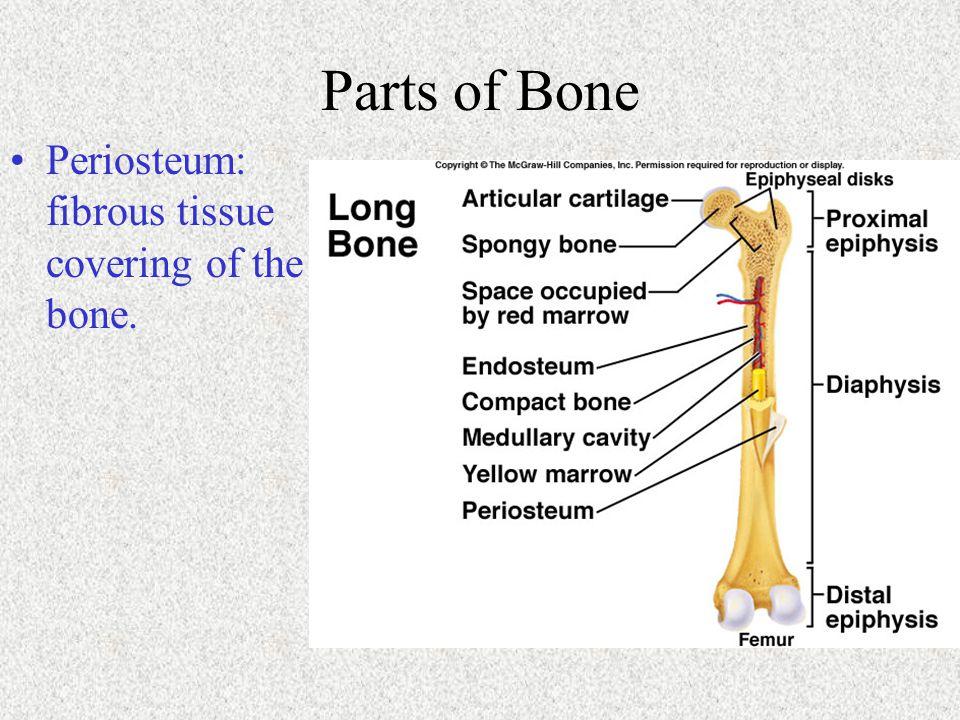 Parts of Bone Periosteum: fibrous tissue covering of the bone.