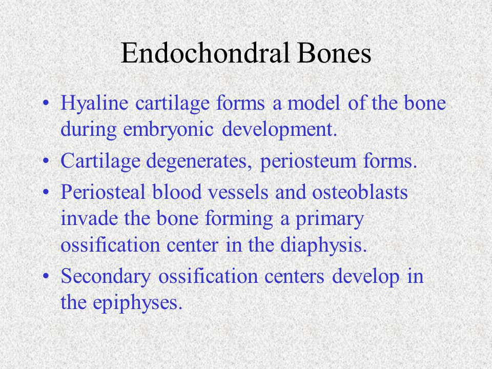 Endochondral Bones Hyaline cartilage forms a model of the bone during embryonic development. Cartilage degenerates, periosteum forms. Periosteal blood