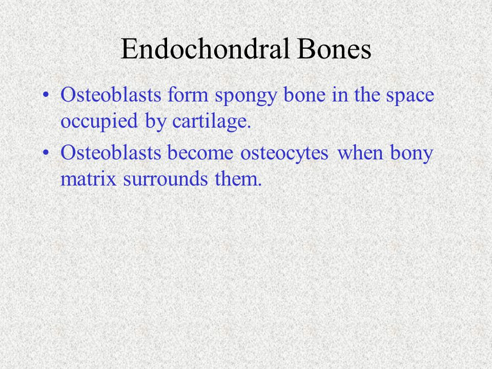 Endochondral Bones Osteoblasts form spongy bone in the space occupied by cartilage. Osteoblasts become osteocytes when bony matrix surrounds them.