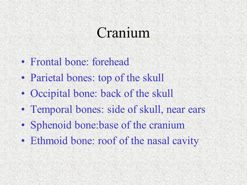 Cranium Frontal bone: forehead Parietal bones: top of the skull Occipital bone: back of the skull Temporal bones: side of skull, near ears Sphenoid bo