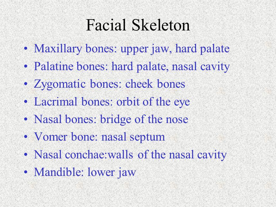 Facial Skeleton Maxillary bones: upper jaw, hard palate Palatine bones: hard palate, nasal cavity Zygomatic bones: cheek bones Lacrimal bones: orbit o
