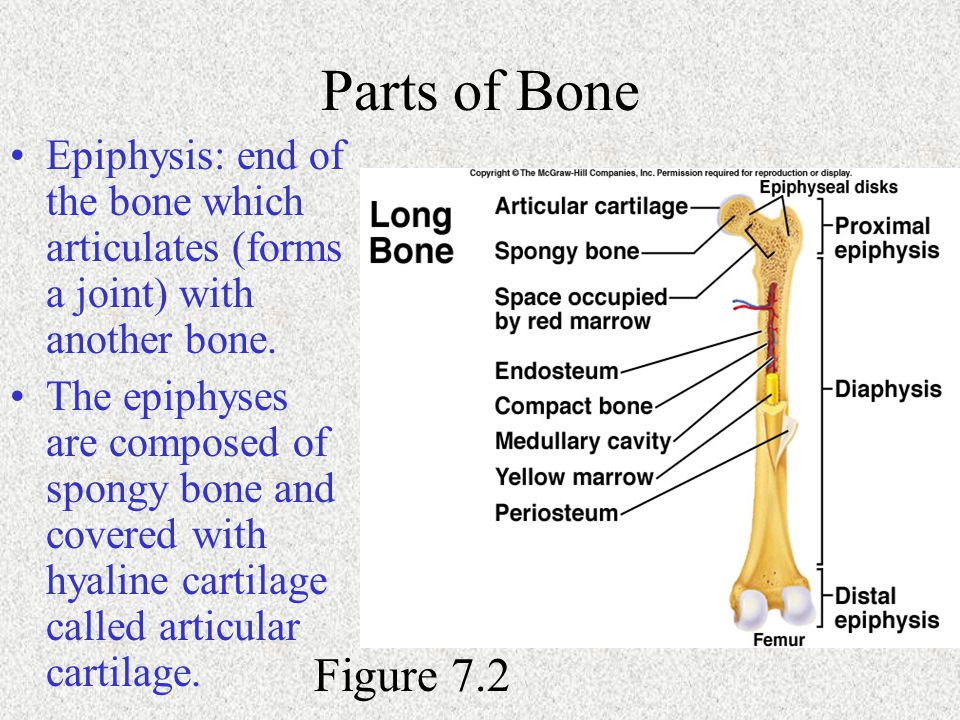Parts of Bone Epiphysis: end of the bone which articulates (forms a joint) with another bone. The epiphyses are composed of spongy bone and covered wi