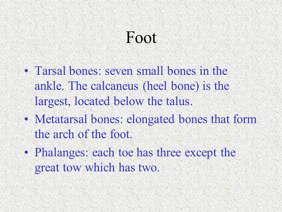 Foot Tarsal bones: seven small bones in the ankle. The calcaneus (heel bone) is the largest, located below the talus. Metatarsal bones: elongated bone