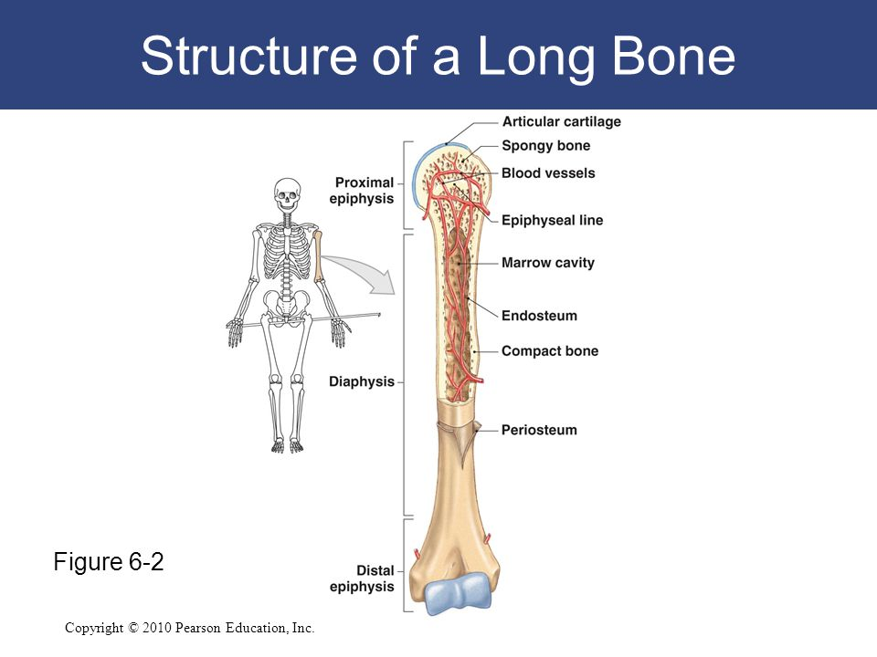 Copyright © 2010 Pearson Education, Inc. Structure of a Long Bone Figure 6-2