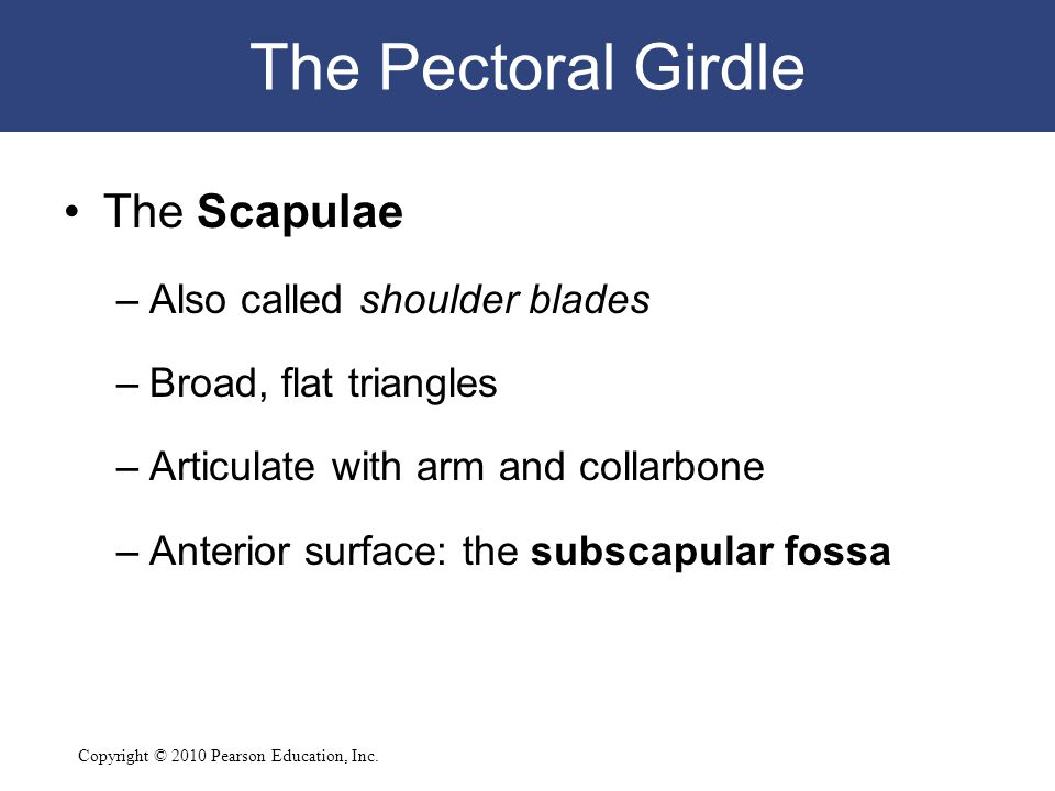 Copyright © 2010 Pearson Education, Inc. The Pectoral Girdle The Scapulae –Also called shoulder blades –Broad, flat triangles –Articulate with arm and