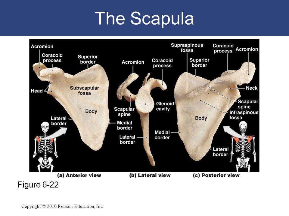Copyright © 2010 Pearson Education, Inc. The Scapula Figure 6-22