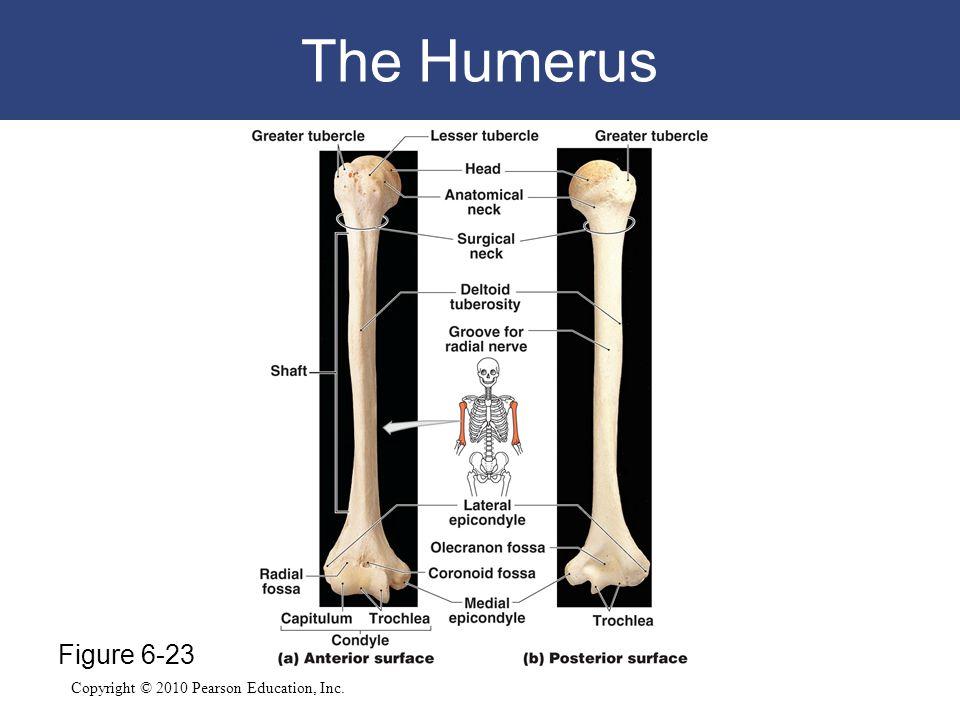 Copyright © 2010 Pearson Education, Inc. The Humerus Figure 6-23