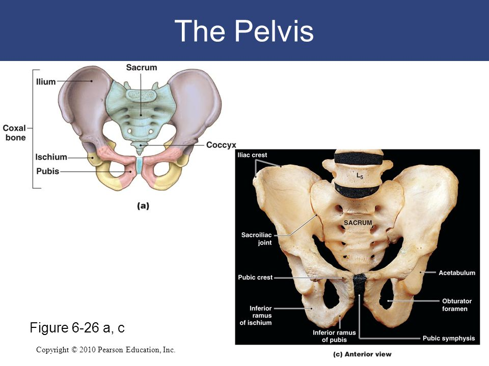 Copyright © 2010 Pearson Education, Inc. The Pelvis Figure 6-26 a, c