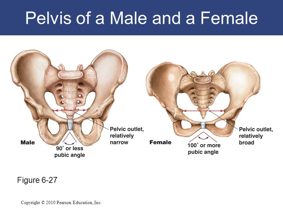 Copyright © 2010 Pearson Education, Inc. Pelvis of a Male and a Female Figure 6-27